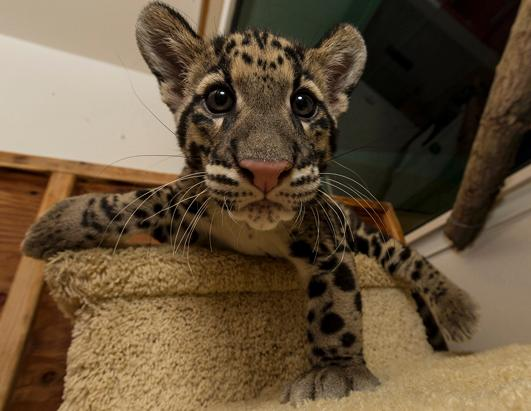 Baby Clouded Leopards Debut at San Diego Zoo