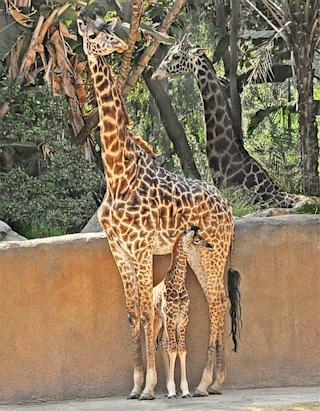 L.A. Zoo Welcomes Baby Sophie