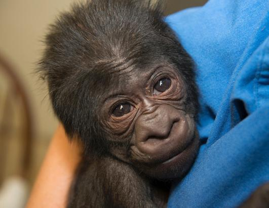 Baby Gorilla Joins Large Primates