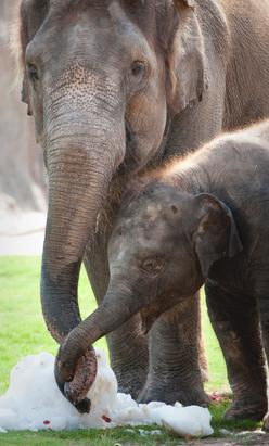 Baby Elephant at Houston Zoo