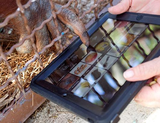 Orangutan uses iPad