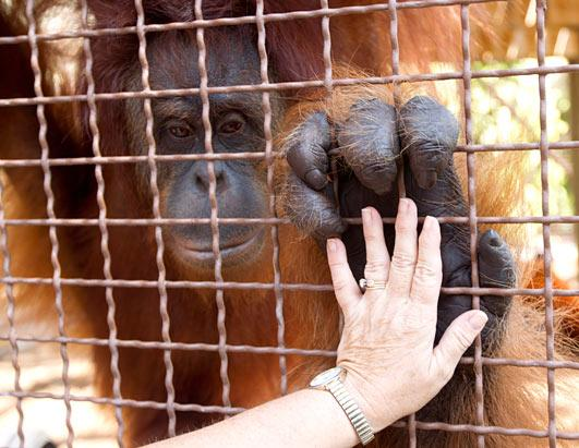 Jungle Islandâ??s Orangutans use iPads to communicate
