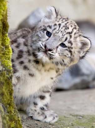 Indeever, a young snow leopard cub, is seen in Zurich Zoo after his first