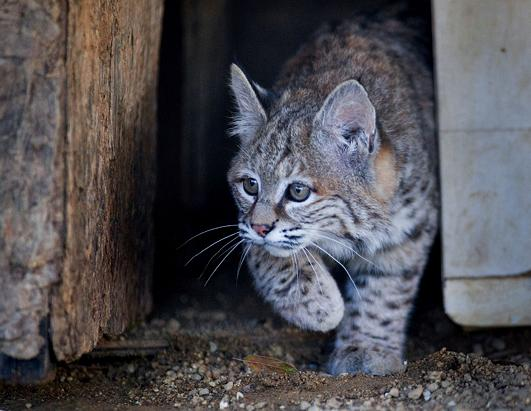 Orphaned Bobcat Is Too Nice