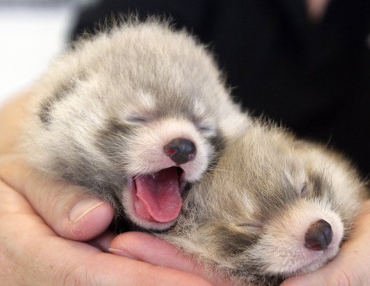 news born and baby animals...dolcissimi  !!!!!!!! dans news born and baby animals ap_red_pandas_080619_ssh