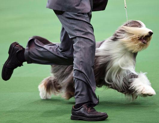 2013 Westminster Dog Show