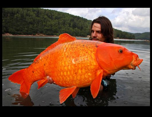Giant Koi?