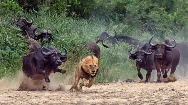 Predator Lion Becomes the Hunted