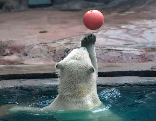 Polar Bear Juggles at Moscow Zoo