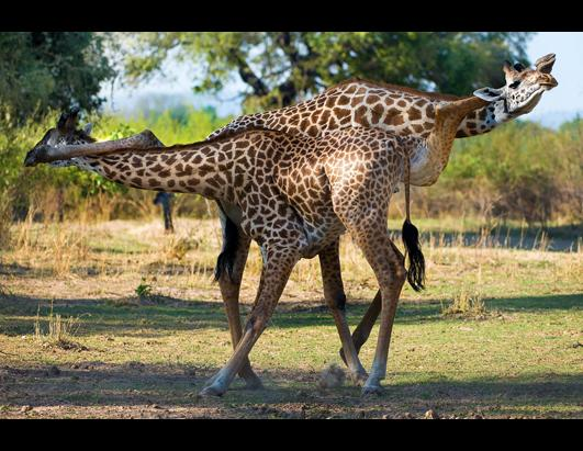 Male Giraffes Do The Tango