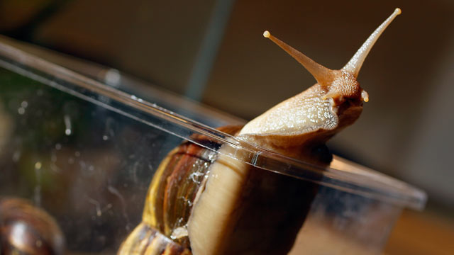 PHOTO:A Giant African land snail at the Florida Department of Agriculture.