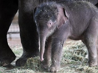 Photos: Baby Elephant Makes Debut