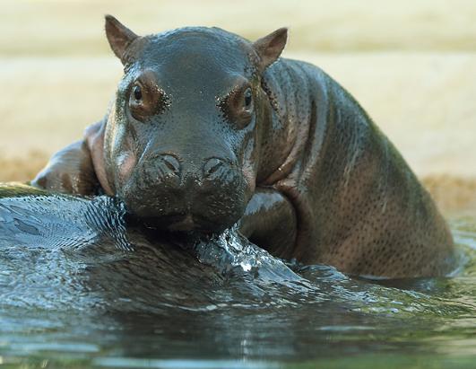 Baby Hippo in Berlin