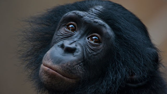 PHOTO: Chimps and bonobos and other primates clearly show empathy with others who are suffering.
