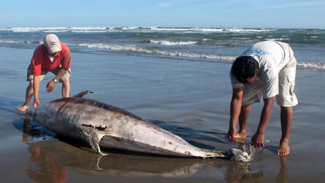 PHOTO: This file picture shows experts measuring a dead dolphin lying on a beach on the northern coast of Peru, close to Chiclayo, some 750 km north of Lima, on March 27, 2012.