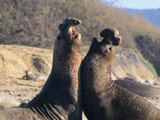 Could Elephant Seals Save the World?