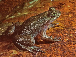 Mouth-Birthing Frog to Be Brought Back From Extinction