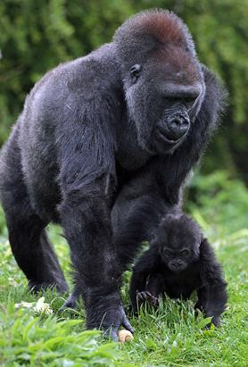 Baby Gorilla Debuts 