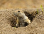 PHOTO: The prairie dog may be losing a long battle to survive.