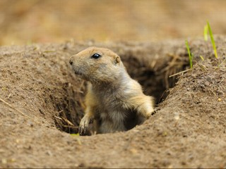Can The Prairie Dog Be Saved?