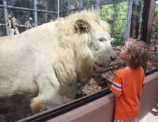 Rare White Lion Makes Debut at Jungle Island in Miami