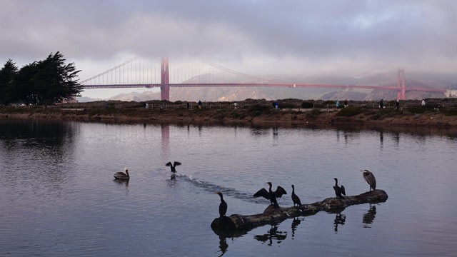 PHOTO: Birds sit on a log inside the tidal wetlands near The Golden Gate Bridge, Dec. 14, 2009. in San Francisco, Calif.