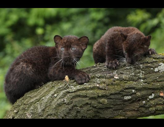 Twin Panther Cubs are a Hit