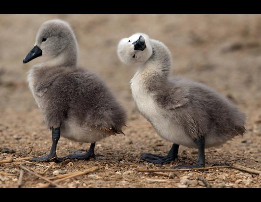 Recently hatched cygnets walk beside the waters edge at Abbotsbury Swannery