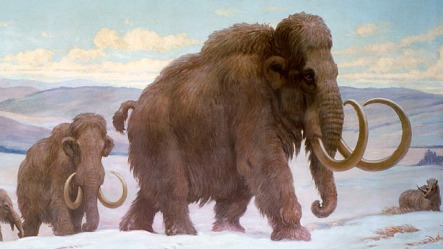 PHOTO: Woolly Mammoths in Late Pleistocene time, 100,000 years ago, mid to late 20th century.