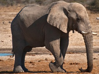 """This African elephant has lifted one foot, placing more weight on the toes of the other foot, to """"listen"""" to seismic signals that can tell much, including danger, the presence of food or water, or the willingness of a potential mate at least two miles aw"""