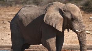 Elephants hear through their feet