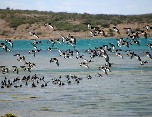 Happy New Year's for Penguins Magellanic oystercatchers