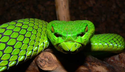 New Species Mekong Gumprechts green pitviper