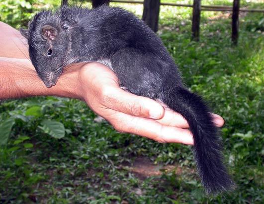 New Species Mekong Laotian rock rat