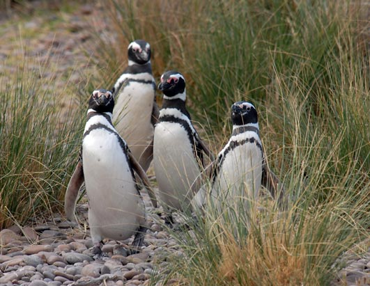 Happy New Year's for Penguins Magellanic penguins in San Jorge