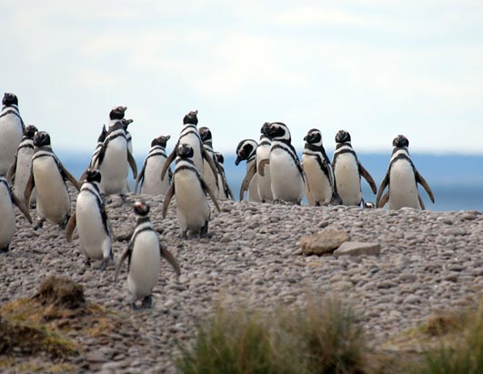 Happy New Year's for Penguins Magellanic penguins arrive in San Jorge