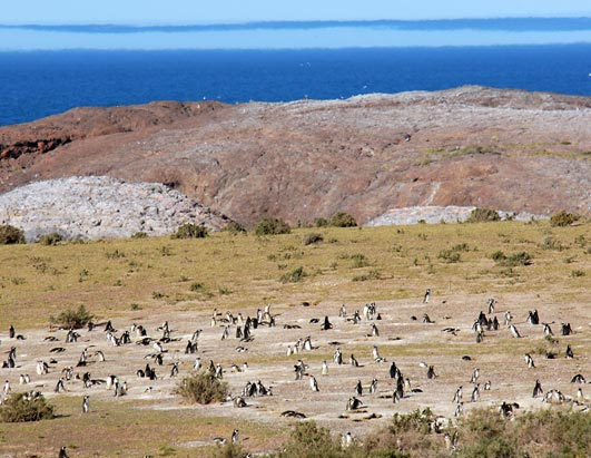 Happy New Year's for Penguins Magellanic penguins at Cabo dos Bahias