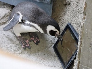 iPad-Playing Penguins Try to Nip at Virtual Mouse