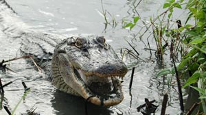PHOTO: Alligators Pair for Life