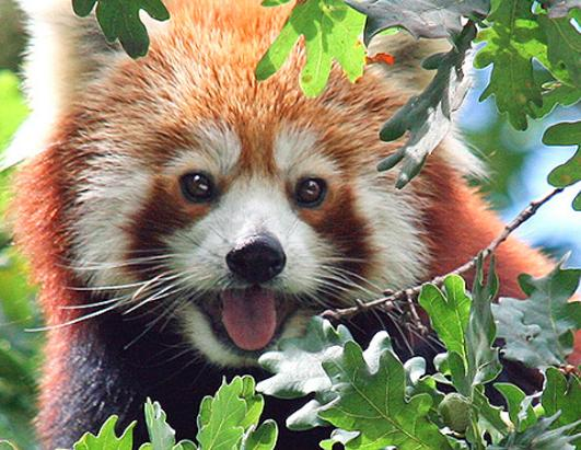 red panda has concussion after 30-foot fall in Dresden, Germany