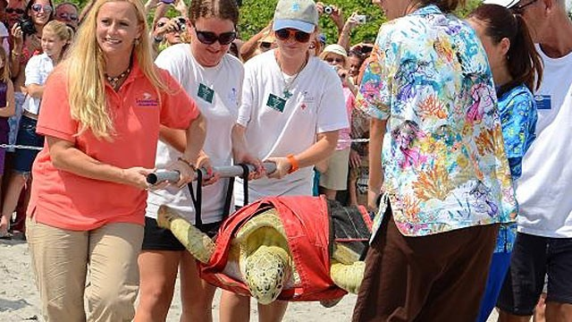 PHOTO: Andre, an endangered green turtle, is released into the ocean after a 414 day stay at the Loggerhead Marinelife Center in Juno Beach, Fla.