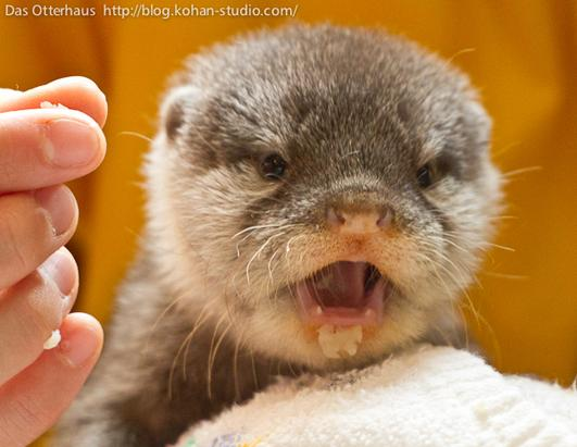 Cute Baby Otters
