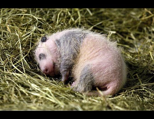 Baby Panda Cub at Zoo Atlanta