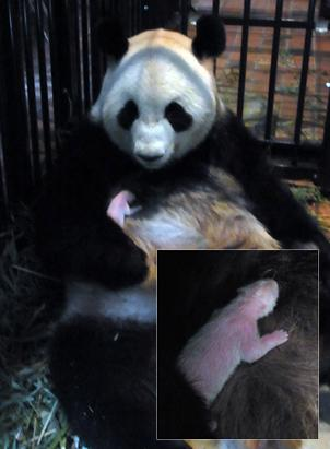 Tokyo's First Giant Panda Born in 24 Years Dies of Pneumonia