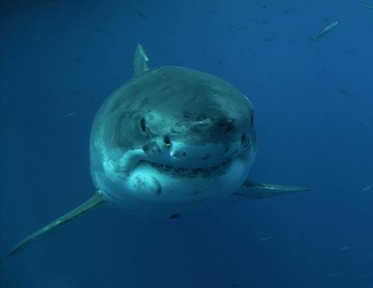 Shark Men: Tracking the Great White Shark
