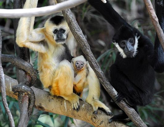 White-cheeked gibbon.