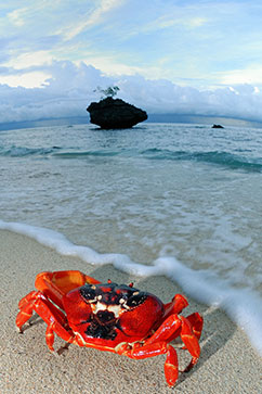 ht cove crab and tree lpl 131129 wblog Crustacean Invasion! Millions of Red Crabs Take Over Australias Christmas Island