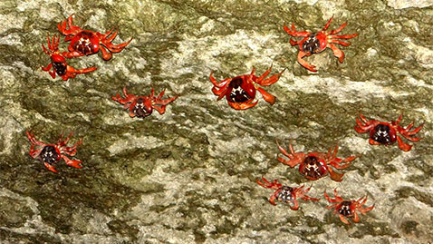 ht crabs holding on lpl 131129 wblog Crustacean Invasion! Millions of Red Crabs Take Over Australias Christmas Island