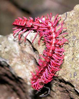New Species Mekong dragon millipede