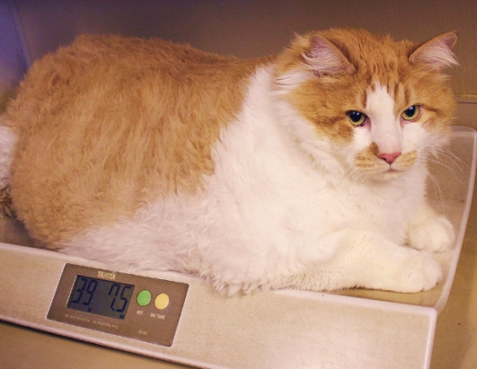 cat weighs   pounds picture crazy cats abc news